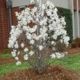 MORTARA.«Una magnolia secolare rischia l'abbattimento: nella redazione del progetto è stato fatto tutto il possibile per salvarla?». Il circolo Legambiente «Il Colibrì» e il Wwf Lomellina intervengono sul caso della […]